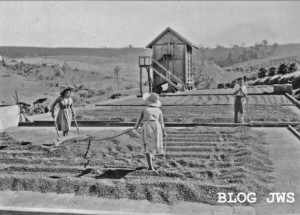 arapongas terreno de cafe blog jws wt anos 1950
