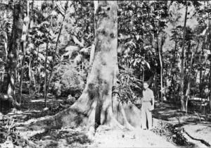 maringa árvore antiga jws