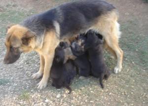 cadela com filhotes pendurados  jws.com.br